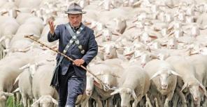 3ago2013---o-pastor-bernd-angelroth-caminha-com-seu-rebanho-de-ovelhas-neste-sabado-3-durante-o-campeonato-de-pastores-de-thuringia-em-hohenfelden-alemanha-ganha-quem-conduzir-os-animais-com-a-1375533037667_956x