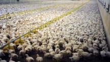 Chicken breeding for Wiesenhof poultry farming